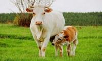 Осеменение коров и телок